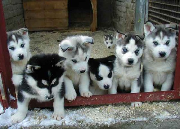 My favorite kind of dog is the alaskian huskey i love the puppy ones